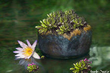 Garden design:Basket of Gold in Floating Korean Pottery