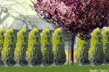 Garden design:arborvitae - tight